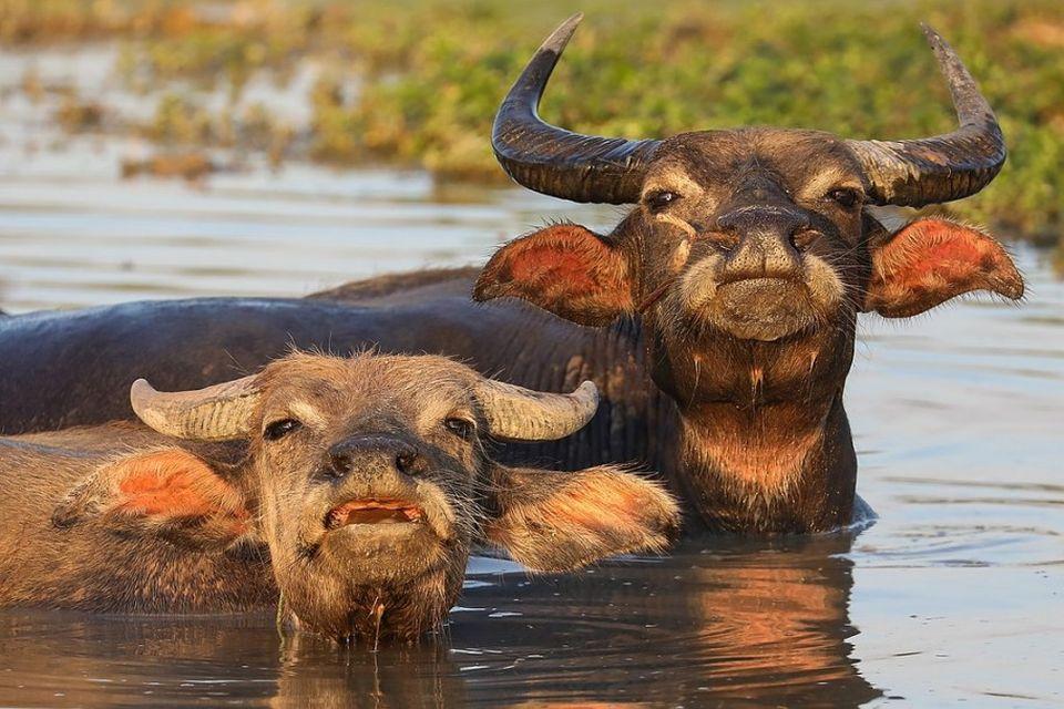2 buffles d'eau qui se baigne